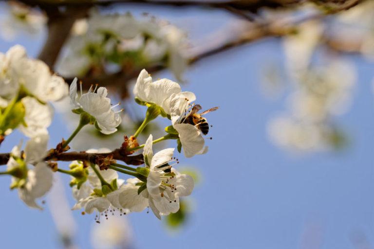 pollinisation-abeille-768x512